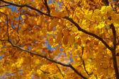 Jesienne drzewo bukowe — Zdjęcie stockowe