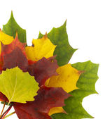 Autumn colors 2; mapple leaves — Stock Photo