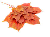 Autumn colors 9; mapple leaves — Stock Photo
