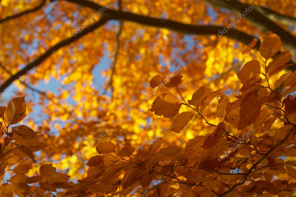 Yellow beech leaves in the afternoon sun bath  Stock Photo #1783171
