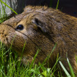 Stock Photo: The guinea pig