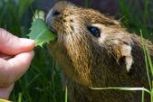 The guinea pig — Stock Photo