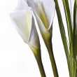 White lilly — Stock Photo #1695839