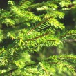 Conifer - fir — Stock Photo