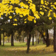 Stock Photo: Autumn tree with yellow leaves