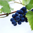 Blue grape cluster with leaves — Stock Photo