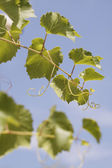 Leaves of a vine — Stock Photo