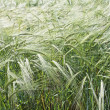 Bulgarian Golden wheat growing — Stock Photo