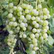 White grape cluster with leaves — Stock Photo