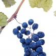 Stock Photo: Blue grape cluster