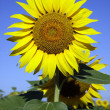 Sunflower in sunflower field - Stock Photo