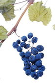 Blue grape cluster — Stock Photo