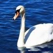 Beautiful swan in water - Stock Photo