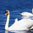 Swans in water — Stock Photo