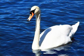 Beautiful swan in water — Stock Photo