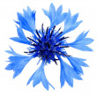 Cornflower — Stock Photo #1749370