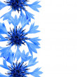 Cornflower border — Stock Photo