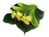 Linden inflorescence — Photo