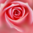 Royalty-Free Stock Photo: Rose