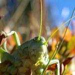 Grasshopper — Stock Photo #2016403