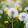 Dandelions — Stock Photo #1712043