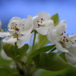 Apple-tree flowering — Stock Photo #1712636