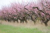 Blossoming peach garden — Stock Photo
