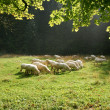 Stock Photo: Sheeps on pasture