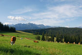 Cows in Tatras — Stock Photo