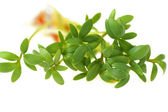 Cress close-up — Stock Photo