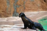 Eared seal — Stock Photo
