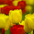Colorful tulips in spring garden. — Stock Photo #1754527