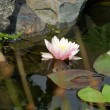 Stock Photo: Water lilly on water