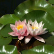 Pink water lilly on leafs — Stock Photo