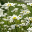 Stock Photo: Fresh white daisy on spring garden