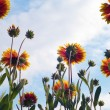 Stock Photo: Fresh orange daisy on sky background