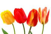 Beautiful colorful tulips isolated — Stock Photo
