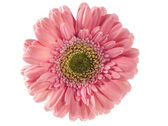 Pink gerbera isolated on white — Stock Photo