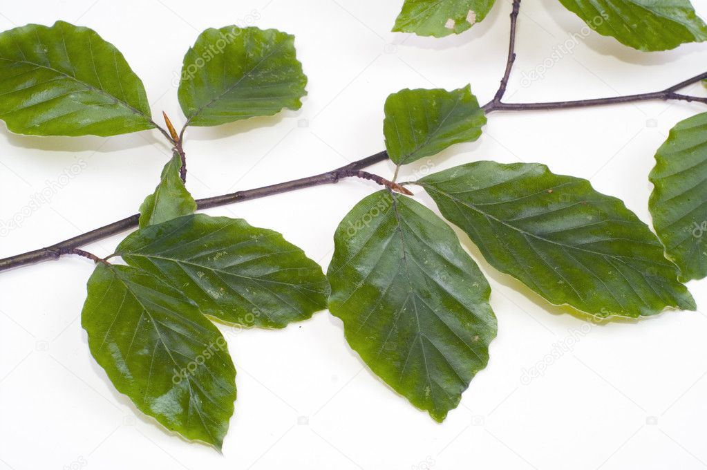 Twig of beechen with leafs over white — Stock Photo #1755718