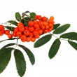 Red rowan — Stock Photo #2044582