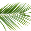 Stock Photo: Palm tree leaf