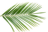 Palm tree leaf — Stock Photo