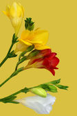 Colorful freesia on yellow background — Stock Photo