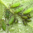 Stock Photo: Aphids on leaf