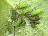 Aphids on leaf — Stock Photo
