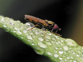 Flower-fly on wet leafs — Fotografia Stock