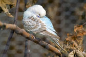 Sleeping budgie — Stock Photo