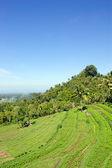 Rice terrace on Bali — Stock Photo