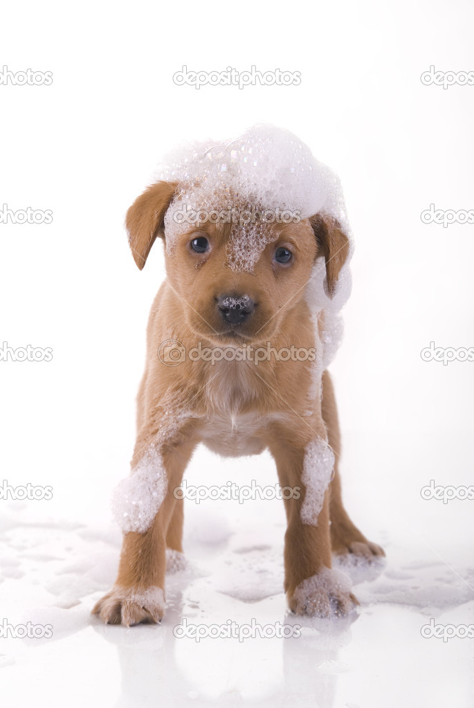 depositphotos 1669815 Small cute puppy taking a bath leather puppy