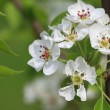 Branch of flowering apple tree — Stock Photo #2035772